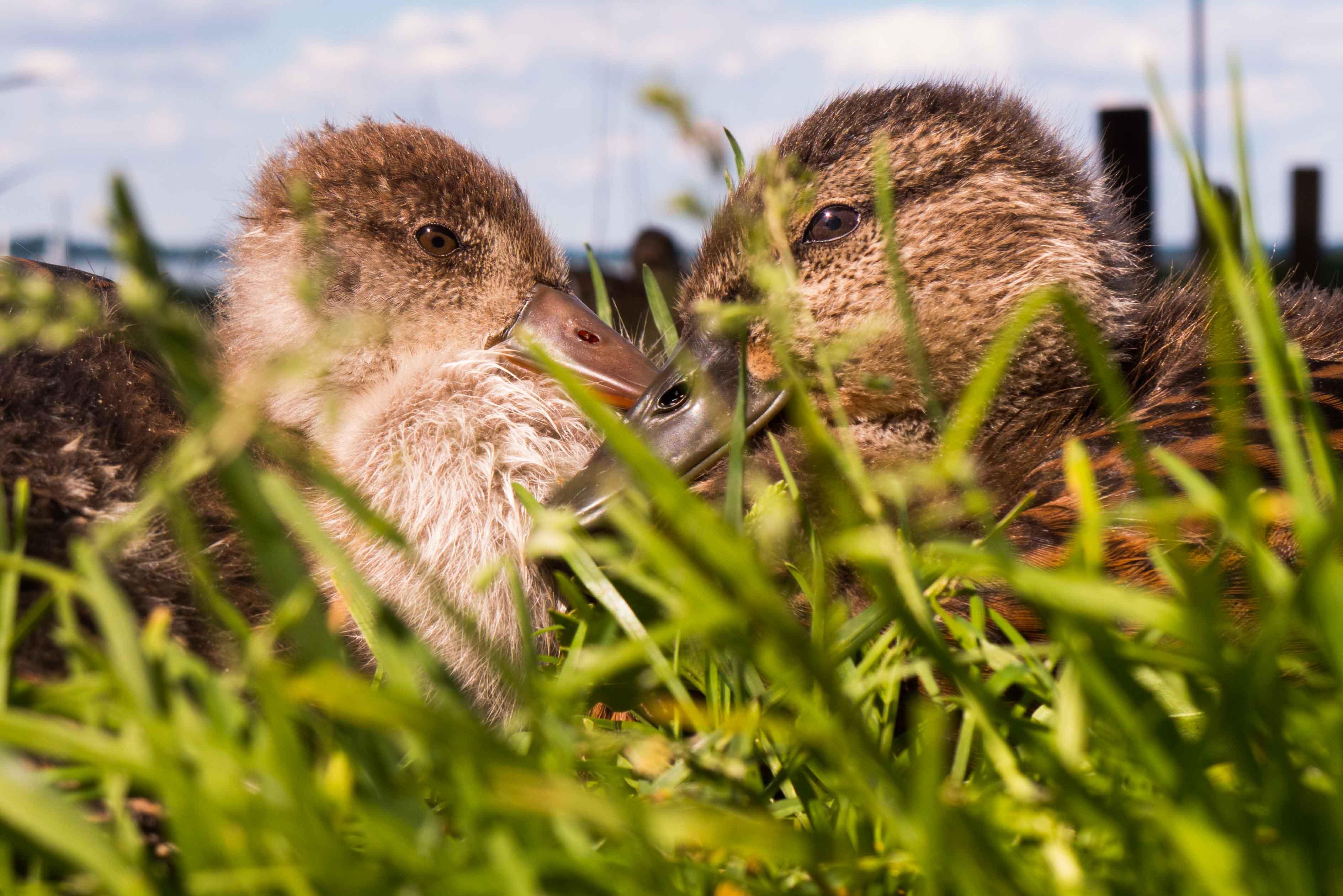 DIe Entenküken auf der Fraueninsel im CHiemsee haben keine ANgst vor den Touristen, sie sitzen seelnruhig am Wegesrand und beobachten die vorbeigehenden Menschen