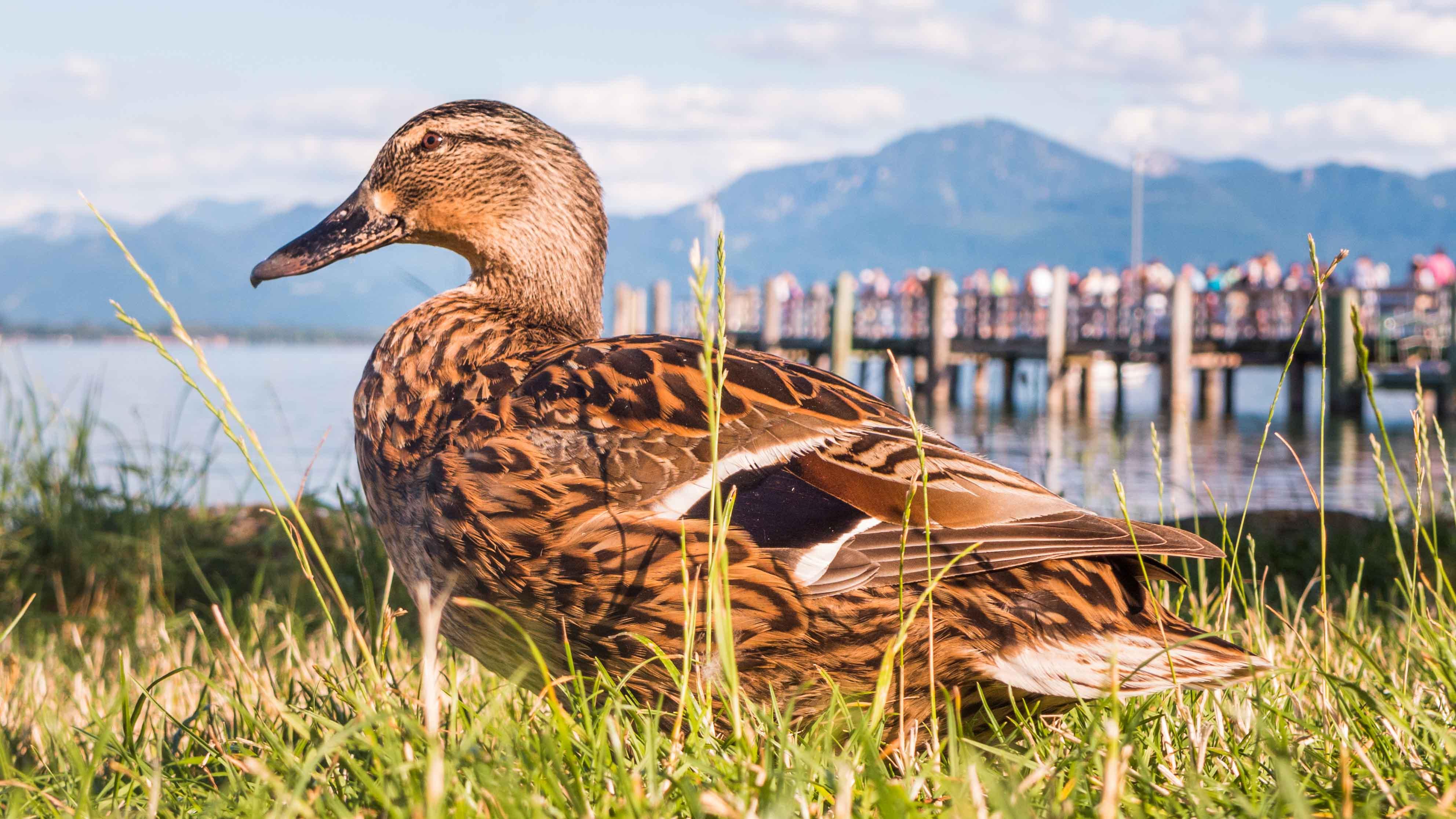 Die Ente wartet am Anlegesteg auf der Fraueninsel auf Besucher